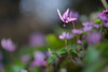 20180318-DS7_0390.jpg (d3_plus) Tags: bokeh aiafzoomnikkor80200mmf28sed d700 thesedays wildflower 日常 walking 城山 ボケ 相模原 望遠 カタクリ 自然 景色 dogtoothviolet sagamihara trekking 神奈川県 sky telephoto 山野草 風景 japan erythroniumjaponicum ニコン トレッキング nature dailyphoto ハイキング nikon nikond700 kanagawa flower nikkor shiroyama 8020028 dogtoothvioletvillage bloom 植物 80200mmf28d 散歩 80200mmf28af plant 花 scenery 80200mmf28 daily 城山かたくりの里 hiking 80200 日本 tele 80200mm かたくりの里 空