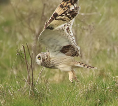 1S9A9256 (saundersfay) Tags: shortearedowl feathers eyes hare grass talons beak bird