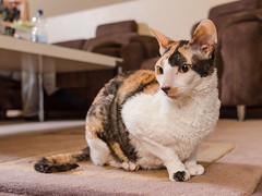 _P1011756_cut (daniel kuhne) Tags: cats katzen cornishrex stubentiger mft epl3