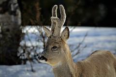 rådyrbukk (KvikneFoto) Tags: rådyr roedeer natur norge hedmark kvikne nikon tamron bokeh vinter winter snø snow