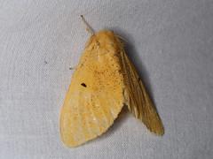 Nygmia plana (dhobern) Tags: 2018 china lepidoptera march xtbg xishuangbanna yunnan lymantriidae nygmiini nygmiaplana