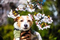 Cherry blossom-Viewer (moaan) Tags: kobe hyogo japan jp sakura cherryblossom underthecherryblossom dog jackrussellterrier kinoko animal domesticanimal dof depthoffield bokeh bokehphotography canon canonphotography canoneos5dsr ef50mmf14usmm utata 2018 f14 50mm