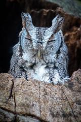 No Rest (59roadking - Jim Johnston) Tags: ifttt 500px screech owl bird raptor prey restful feathers tree nest