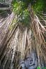 Banyan tree (kuuan) Tags: bali indonesia voigtländerheliarf4515mm manualfocus mf voigtländer15mm aspherical f4515mm superwideheliar apsc ricohgxr mmodule banyan banyantree ganesh ganesha
