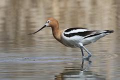 American Avocet (fethers1) Tags: belmarpark kountzelake bird shorebird coloradowildlife americanavocet