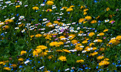 Miracles (BeNowMeHere) Tags: ifttt 500px wildflowers alpineflowers benowmehere flowers lausanne miracles nature nexttous switzerland colourful spring suisse swiss travel trip