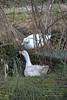 IMG_2018_04_13_02719__1__2_Balanced (gravalosantonio) Tags: patos aves pekin huevos huerta ecologico pareja