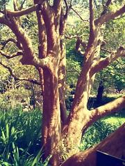 Luma apiculata (sftrajan) Tags: lumaapiculata chileanmyrtle myrtaceae arrayán sanfranciscobotanicalgarden arrayánrojo arrayánchileno botanicgarden strybingarboretum goldengatepark botanischergarten jardínbotánico jardimbotânico jardinbotanique sanfrancisco 2018