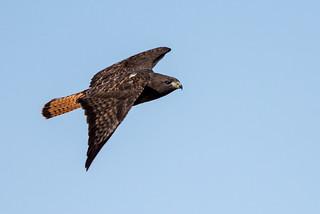1804_1082 Red-tailed Hawk, dark-morph