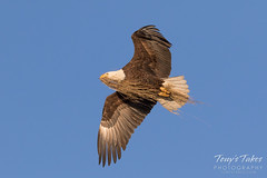 Male Bald Eagle returns home with a load of grass