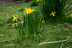 20180322-10_Coombe Abbey Country Park - Daffodils (gary.hadden) Tags: coombeabbey coombepark coventry warwickshire countrypark rambling countrywalking daffs doffodils flowers yellow spring