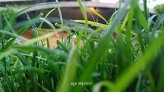 17820449_1335270219852102_1444965647_o (sankrityaayan) Tags: delhi india grass