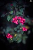 如夢似幻。Dream like a Dream. (ORANGEREPUBLIC) Tags: photolovers photoshopexpress iso100 manualfocus photoeditor blur sonya7r2 mirrorless beautifulbokeh 花の寫真 orangerepublic lonely natural fly mitakon50mmf095 f095 fullframe