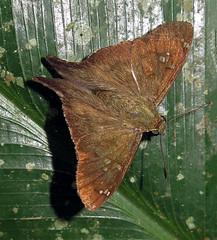 Polythrix minvanes? (hippobosca) Tags: butterfly hesperiidae peru polythrixminvanes macro skipper lepidoptera insect