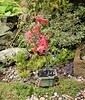The garden:  an Acer bonsai (ronmcbride66) Tags: acer bonsai garden thegarden border planter fossils limestone pieris heucera stonewall clematis