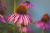 Cone Flowers (A Great Capture) Tags: nature garden purple flower coneflower agreatcapture agc wwwagreatcapturecom adjm ash2276 ashleylduffus ald mobilejay jamesmitchell toronto on ontario canada canadian photographer northamerica torontoexplore summer summertime été 2017 eos digital dslr lens canon 70d natur naturaleza natura naturephotography naturethroughthelens colours colors colourful colorful outdoor outdoors vibrant cheerful vivid bright fleur flor plant plants bloom blossom