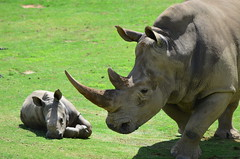 DSC_5457 (Andrew Nakamura) Tags: animal mammal rhino rhinoceros whiterhino southernwhiterhinoceros lyingdown sandiegozoosafaripark safaripark escondido rhinocalf mothercalf