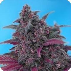 image_resize (Watcher1999) Tags: thc strains seeds cannabis marijuana medical growing plant bob marley smoking weed ganja legalize it