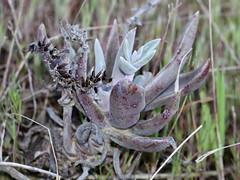 Southern California Dudleya (Dudleya lanceolata), Torrey Pines, CA, 3-18-18
