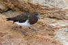 Black Turnstone (dennis_plank_nature_photography) Tags: asilomarbeach blackturnstone montereypeninsula california monterey aquarium birds nature trees waves