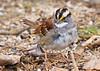 white-throated sparrow at Lake Meyer Park IA 854A4852 (lreis_naturalist) Tags: whitethroated sparrow lake meyer park winneshiek county iowa larry reis