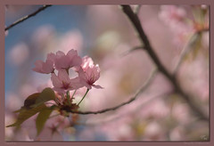 Think Pink (Helios 2/92) (backsidewalkaround) Tags: pink blossoms spring leaves beautifullight marvellous pretty bokeh boke helios292 helios 292 92mm projectionlens oldlens vintagelens russianlens