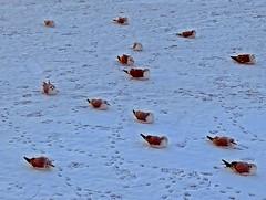 Möwen auf dem Schmachter See (lt_paris) Tags: urlaubinbinz2018 rügen binz schmachtersee schnee winter see möwen