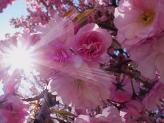 Sakura 桜 (fb81) Tags: switzerland bern cherry blossom sakura hanami pink flower tree leaf spring sun flare star