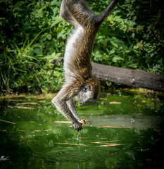 Crab-eating Macaque (Macaca fascicularis) fishing food out of a pond (Wade Tregaskis) Tags: crabeatingmacaque cynomolgusmonkey longtailedmacaque macacafascicularis foliage food hanging leaves murky pond upsidedown