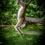 Crab-eating Macaque (Macaca fascicularis) fishing food out of a pond thumbnail