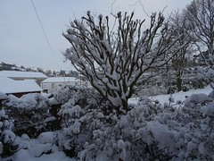 White to the south-west (Phil Gayton) Tags: snow tree bush garden building totnes devon uk