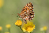 (Explore)  Fritillary species (Ron Winkler nature) Tags: vlinder butterfly insect insects arthropod tuscany italy europe canon 100400ii macro animal wildlife nature 7dii explore explored