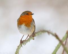 Robin 9321(6D3)10x8 (wildlifetog) Tags: robin alverstone isleofwight uk mbiow martin blackmore britishisles britain bird birds british wild wildlife nature canon england european eos6d snow
