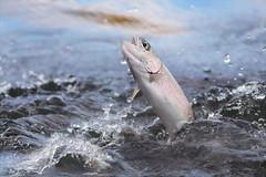 Jumping Trout (Gabriel.Lascu) Tags: fish trout rainbowtrout jumpingfish
