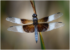 57- Widow Skimmer by Chuck Hunnicutt