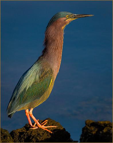 47 - Reddish Egret