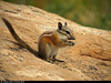 20160822_30 Chipmunk (Neotamias sp.?) | Arches National Park, Utah (ratexla) Tags: ratexlasgreentortoisetrip2016 ratexlascanyonsofthewesttrip2016 nonhumananimals greentortoise canyonsofthewest 22aug2016 2016 canonpowershotsx50hs archesnationalpark utah usa theus unitedstates theunitedstates america northamerica nordamerika earth tellus photophotospicturepicturesimageimagesfotofotonbildbilder wanderlust travel travelling traveling journey vacation holiday semester resaresor ontheroad hiking hike sommar summer beautiful nature life organism nonhumananimal animal animals djur cute cool wild wildlife vild vilda biology zoology chipmunk chipmunks neotamiassp neotamias eating feeding omnomnom favorite