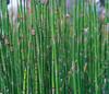 REEDS (frncsdesign) Tags: green fresh life light daylight shadow nature california calming calm fujifilm konica freedom living plants