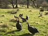 Spring in Goathland (Simon Caunt) Tags: guineafowl noisy gamebird beckhole