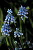 bells of blue (Jen_Vee) Tags: blue flowers floral bells hyacinth green plants longwood winter display bulb