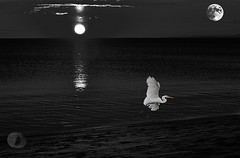 Land of the midnight sun...with egret (firstlookimages.ca) Tags: water wildlifeportraits wildlife lake l art artistic artisticmanipulation digitalmanipulation digitalart digitalphotography detail blackandwhite blackwhite bw egrets monochrome moon outdoors