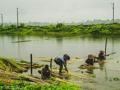 Farmers cultivating jute on the way to Kalna, West Bengal, India (The Impulsive Photographer) Tags: travel travelphotography jute cultivation agriculture farmer rural countryside nature kalna ambikakalna highway westbengal india road sony cybershot