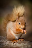 Red Squirrel (Mr F1) Tags: wild redsquirrel brownseaisland johnfanning endangered uk europe dorset bushy tail eyes woodland forest trees eating foraging detail