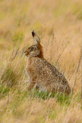 1S9A8821 (saundersfay) Tags: hare ears wildlife