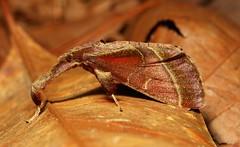 Pyralid Snout Moth (Sacada sp., Pyralinae, Pyralidae), female (John Horstman (itchydogimages, SINOBUG)) Tags: insect macro china yunnan itchydogimages sinobug entomology moth lepidoptera brown pyralidae explore topf25 topf50 tweet top fb tumblr