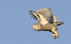 All Legs (hd.niel) Tags: snowyowl owls nature goldenhour photography wildlife ontario
