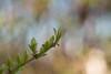 Renaître... (Gisou68Fr) Tags: feuillage leaves vert green nouveau printemps new spring jardin garden bokeh bubbles blur flou canoneos650d bulles