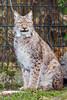 Sich in Pose setzen (S.Angerstein) Tags: luchs tierparkberlinfriedrichsfelde lynxlynx