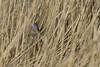 well hidden singer .. (kalakeli) Tags: blaukehlchen bluethroat lusciniasvecica rieselfeldermünster rieselfelder birds vögel march märz 2018