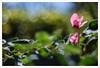 Diaplan 2 (Outlaw Pete 65) Tags: macro closeup fiore flowers ciclamino cyclamen foglie leaves colori colours natura nature luce light nikond600 meyeroptikdiaplan80mm brescia lombardia italia